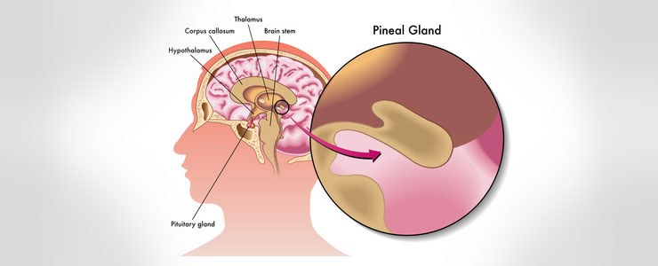 Human brain with the pineal gland